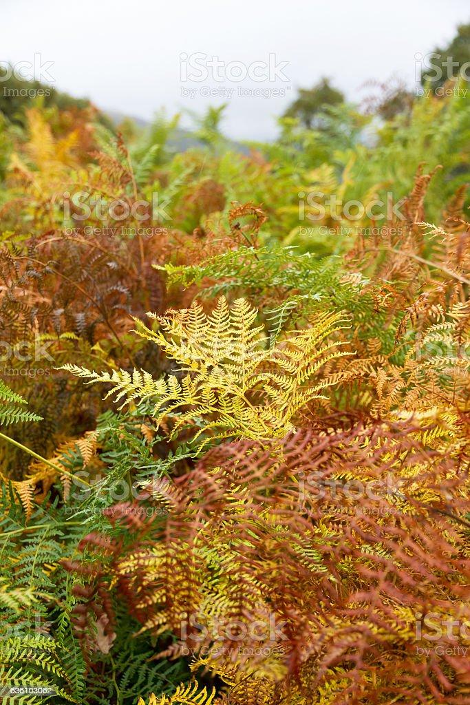 Autumn Fern - Helechos  Otoñales stock photo