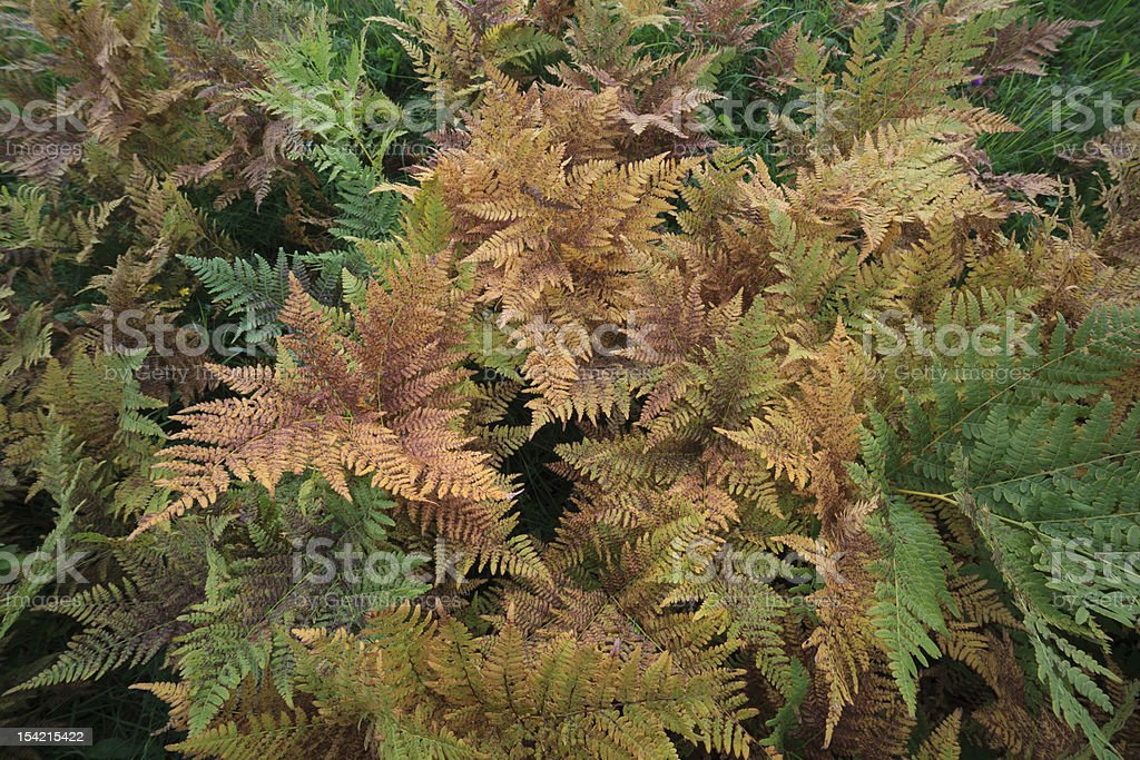 Autumn fern, natural background royalty-free stock photo
