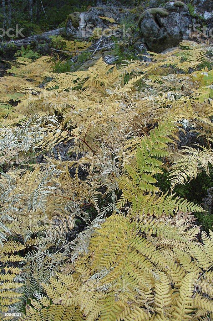Autumn Ferns stock photo