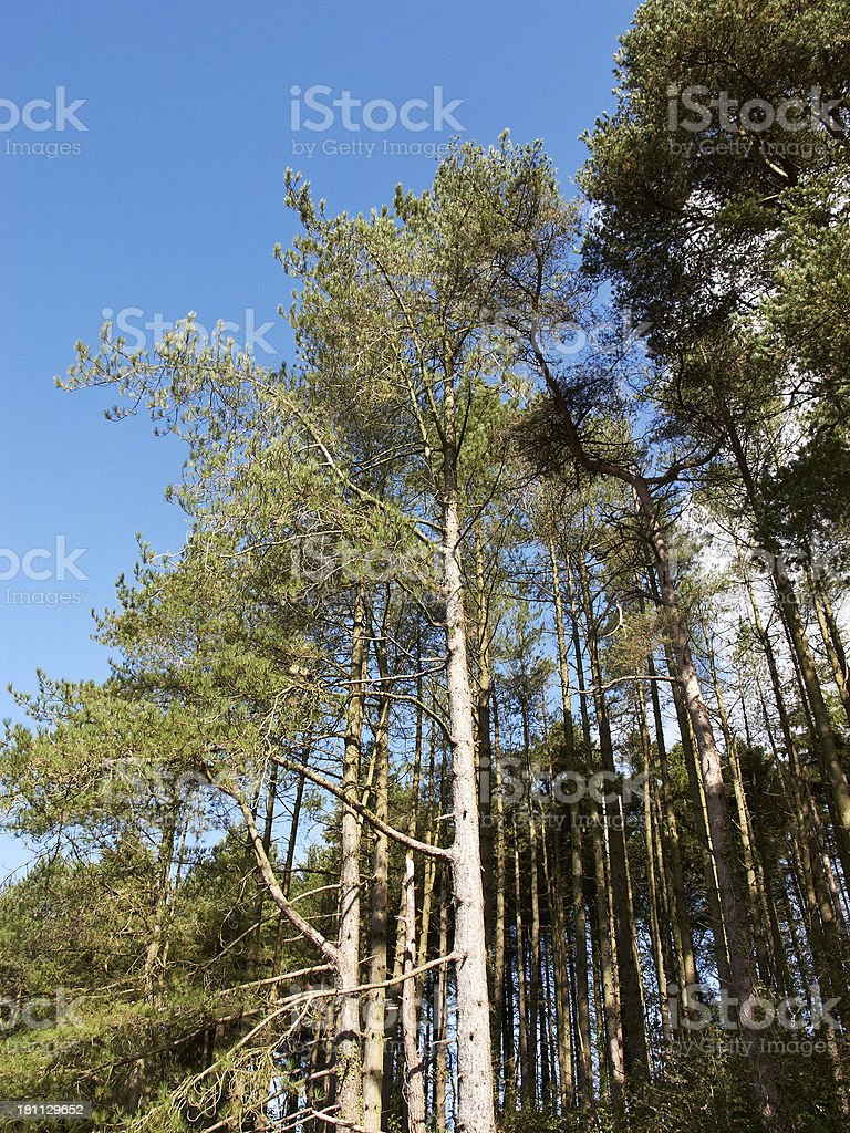 Autumn fir treetops blowing in the wind royalty-free stock photo