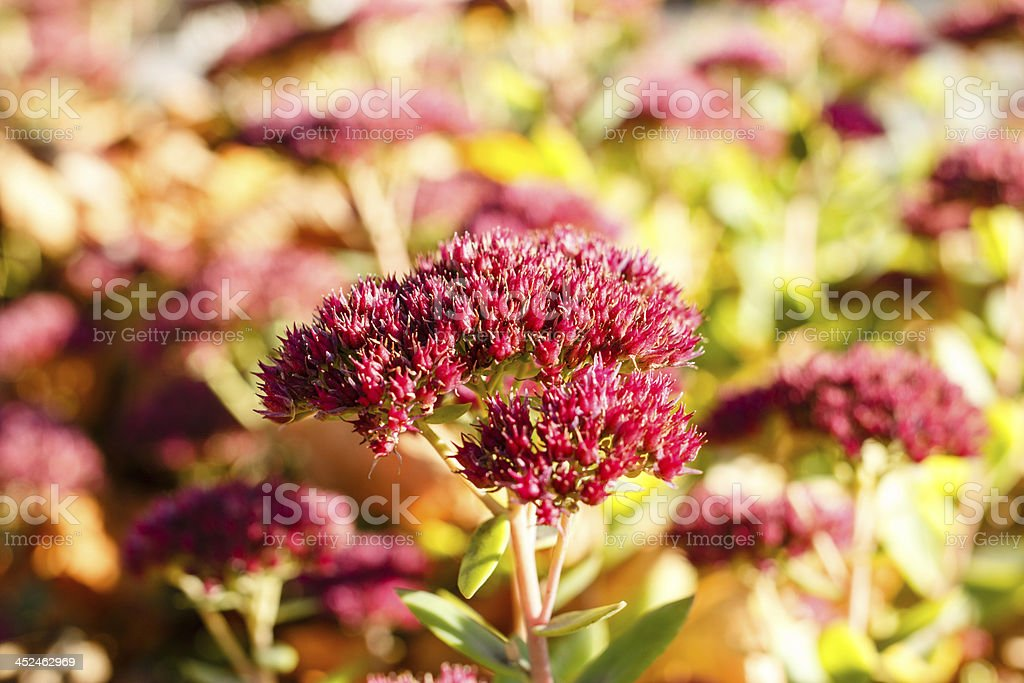 Autumn flower stock photo