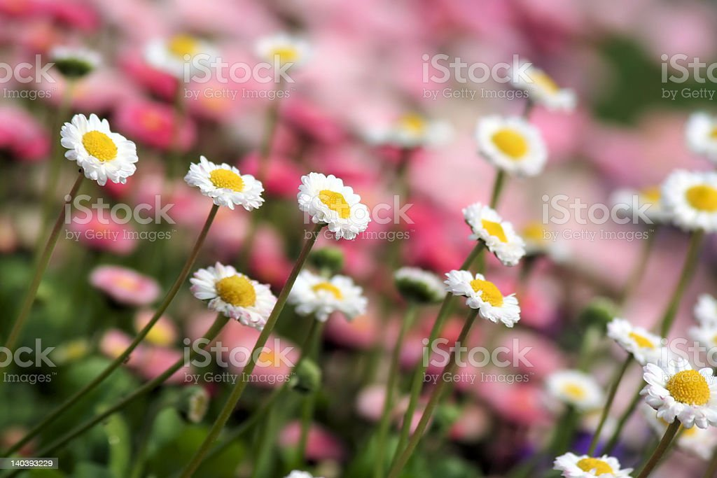 'Autumn flowers', Group of Daisies royalty-free stock photo