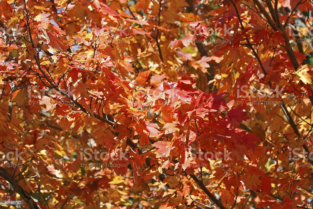 Autumn Foliage II royalty-free stock photo