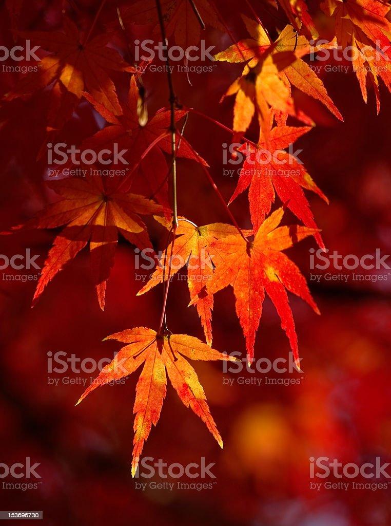 Autumn foliage in Kamakura, Japan royalty-free stock photo