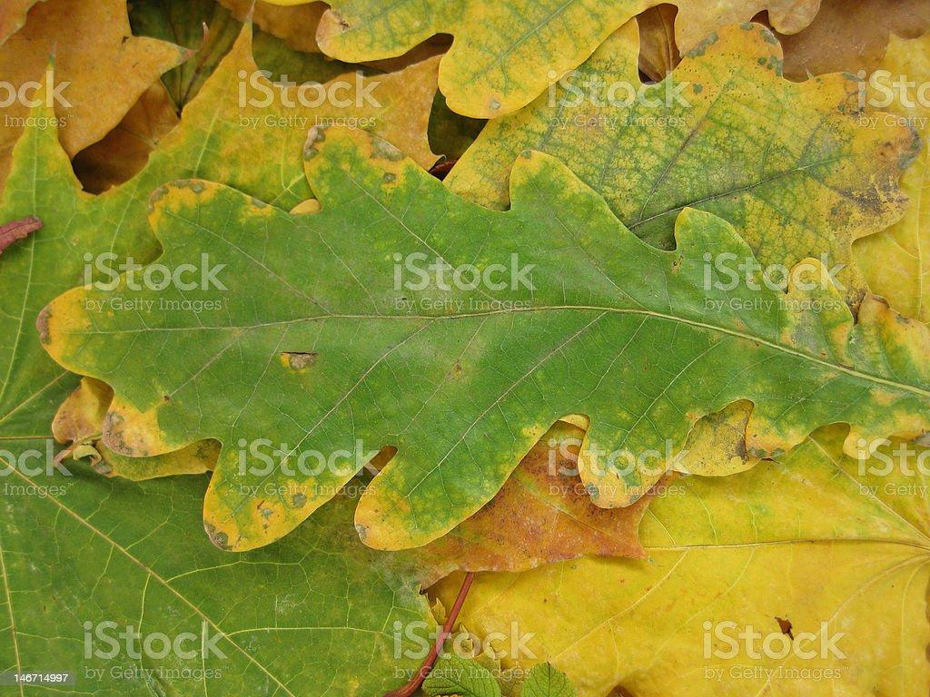 紅葉がすっかります。オークの葉 ロイヤリティフリーストックフォト