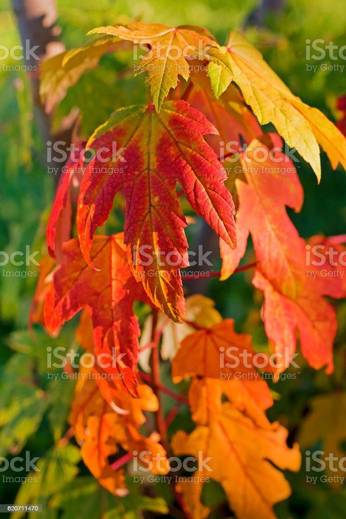Autumn foliage of Acer saccharum (sugar maple or rock maple). stock photo