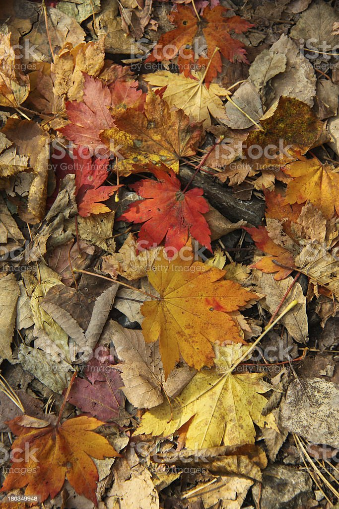 autumn foliage. royalty-free stock photo