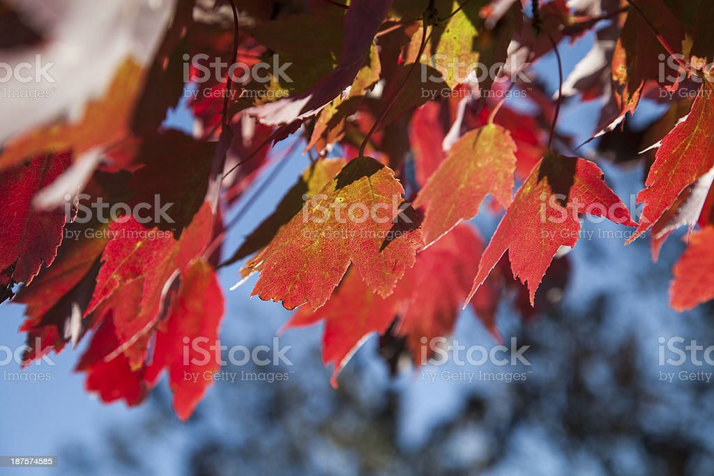Autumn foliage royalty-free stock photo