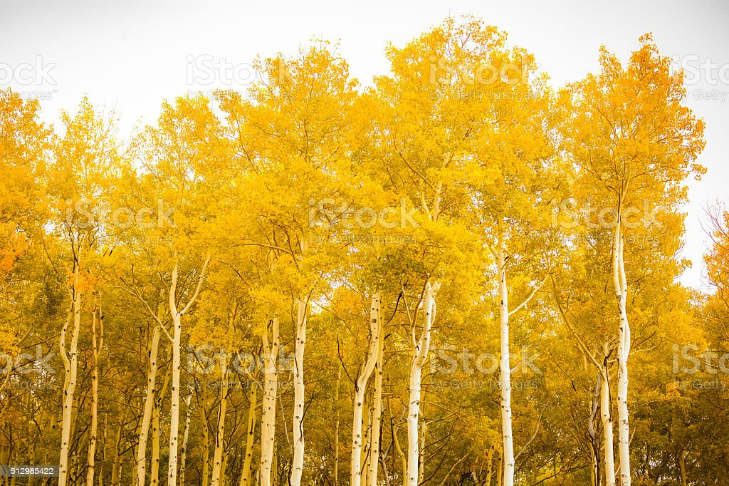 autumn forest aspen trees fall gold stock photo