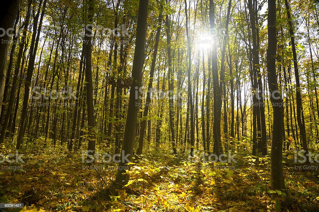 autumn forest / bright colors of leaves / sunlight / horizontal royalty-free stock photo