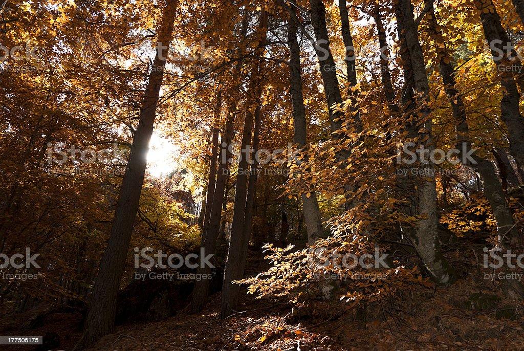 Bosque de otoño. Al atardecer. Caída. - foto de stock