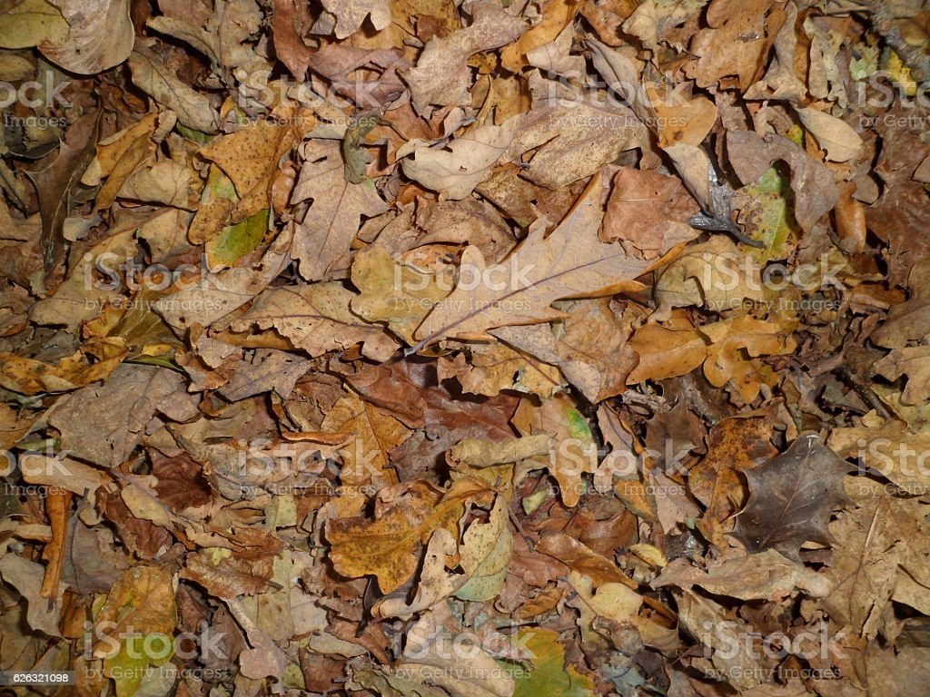 Autumn forest floor, carpet of dead leaves stock photo