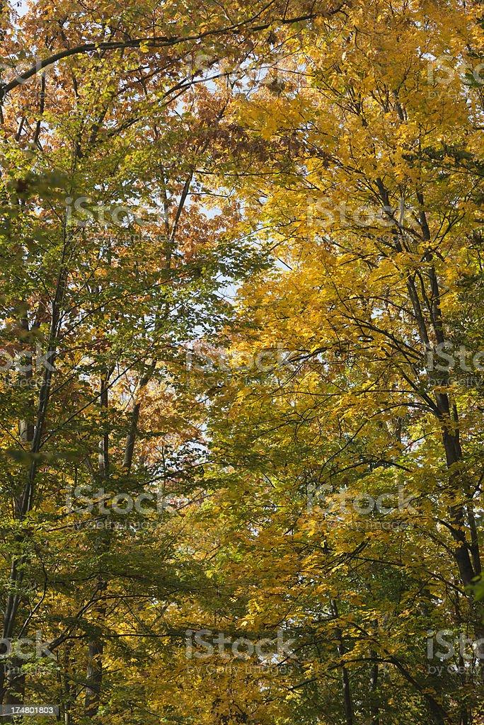 Autumn forest golden October  (image size XXXL) royalty-free stock photo