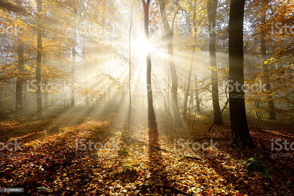 Autumn Forest  Illuminated by Sunbeams through Fog, Leafs Changing Colour stock photo