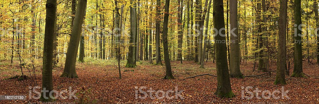 Autumn forest panorama royalty-free stock photo