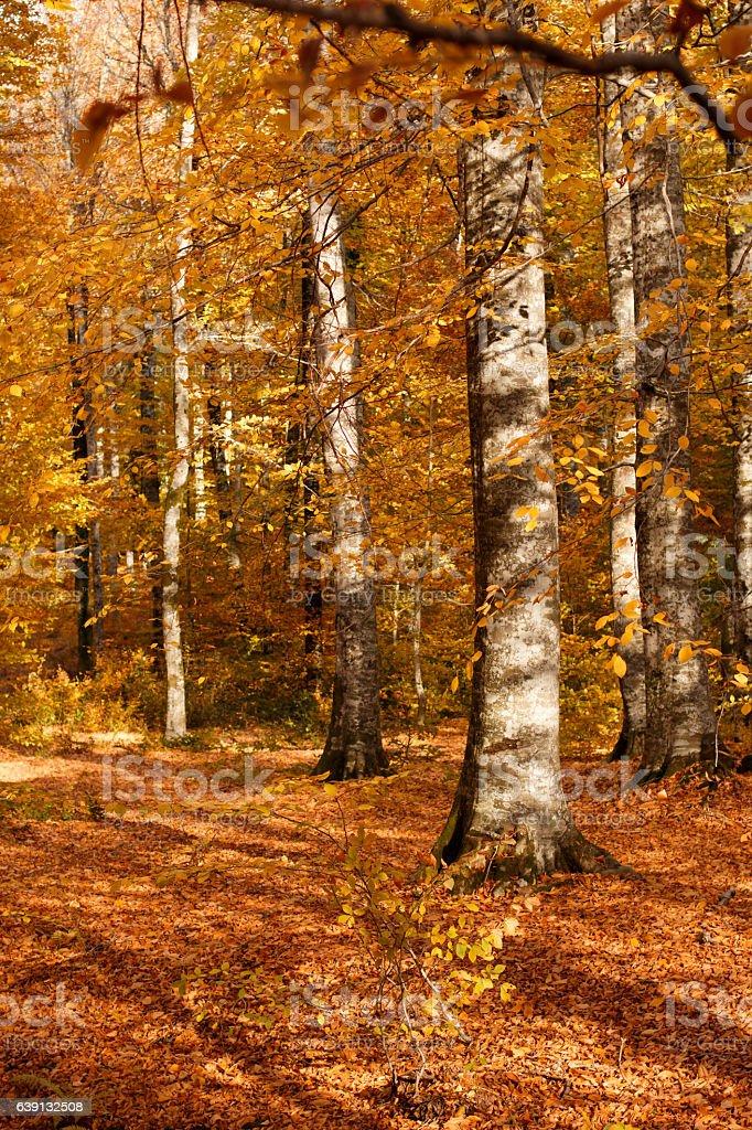 Autumn Forest Trees stock photo