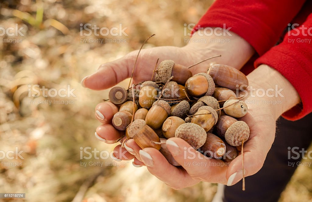 Autumn forest walk. A handful of acorns stock photo