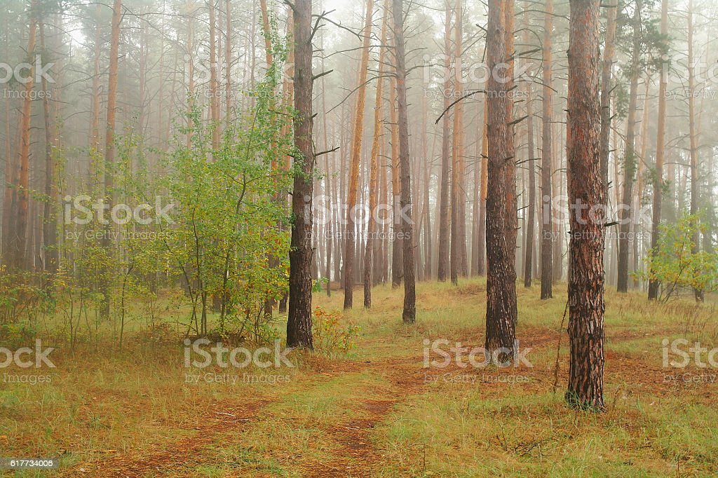 autumn forest with misty morning stock photo