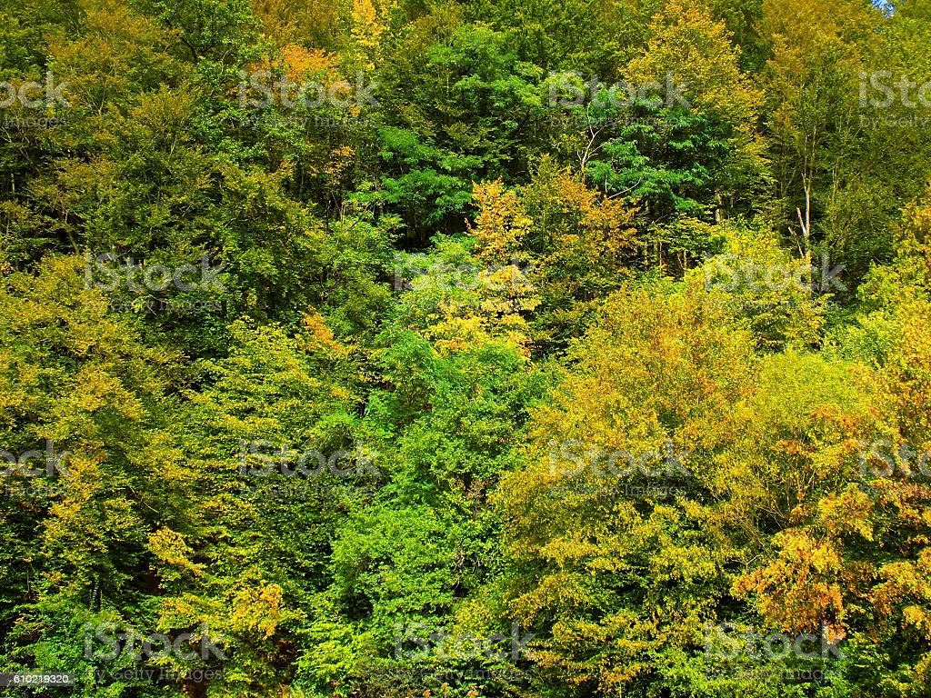 Autumn forest, yellow leaves on deciduous trees during fall stock photo