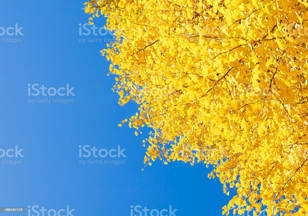Autumn Ginkgo Leaves Against Clear Blue Sky stock photo