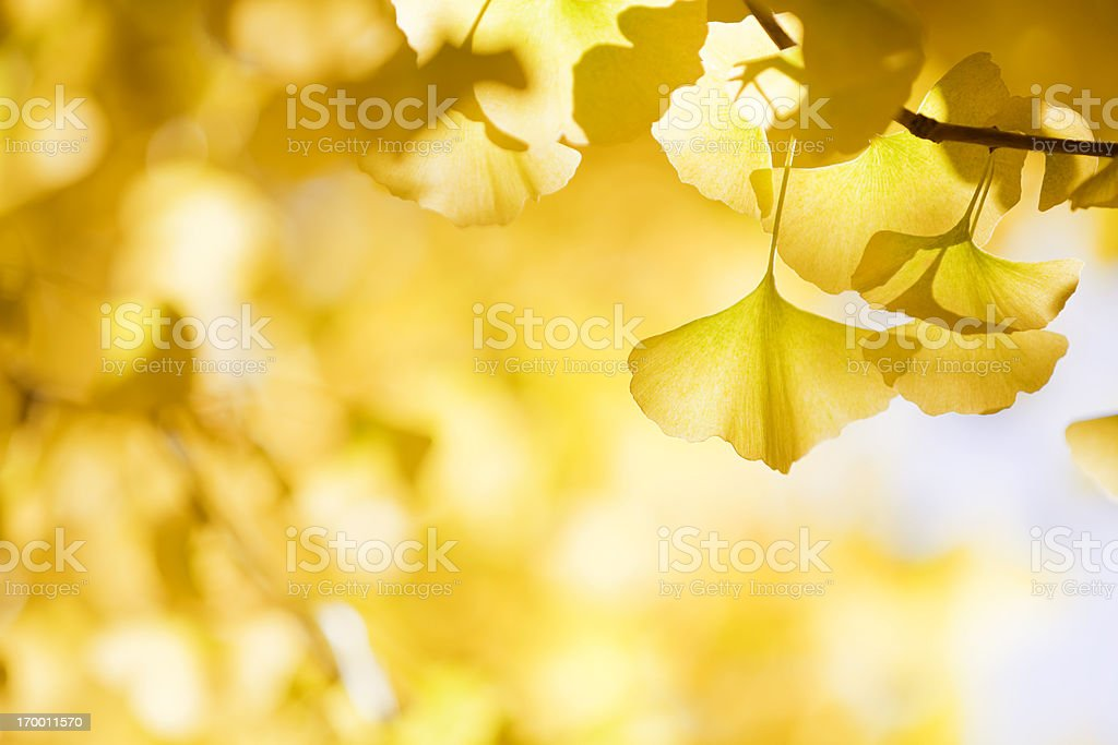 Autumn Ginkgo Leaves stock photo