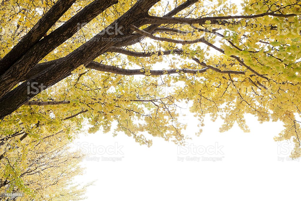 Autumn Ginkgo Leaves royalty-free stock photo