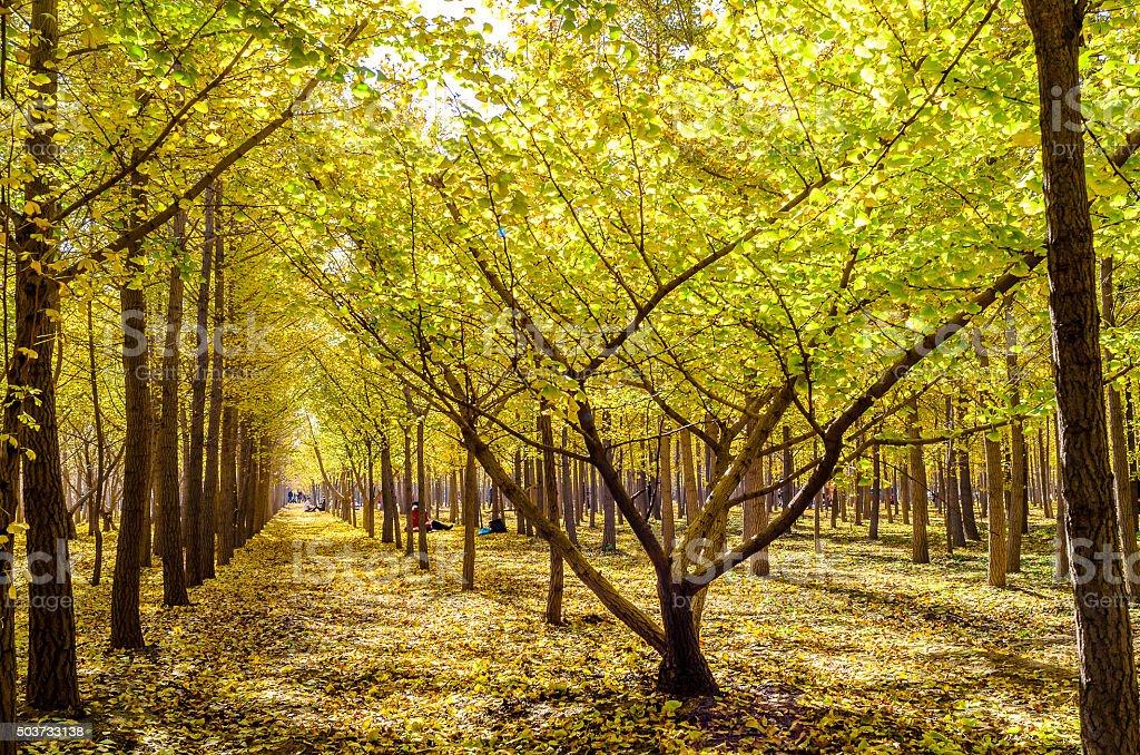 Outono Ginkgo floresta foto royalty-free
