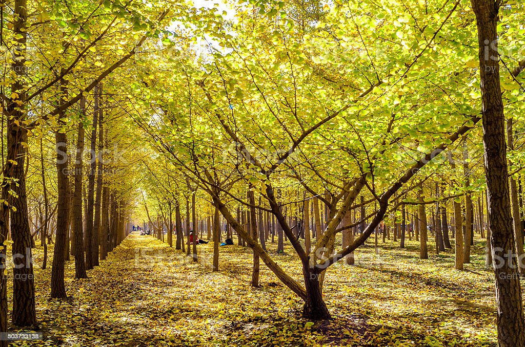 Autumn Ginkgo woods stock photo