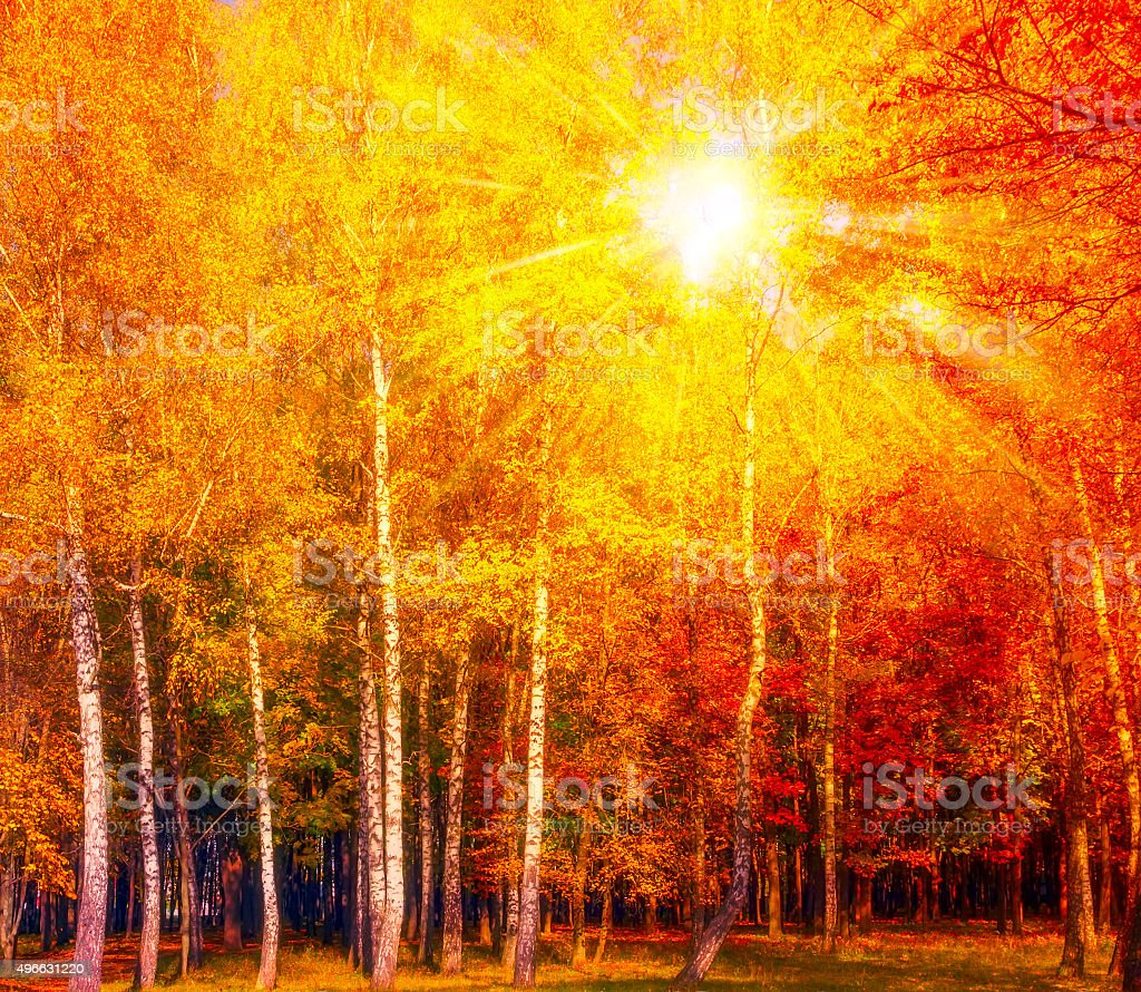 Autumn gold birch Background stock photo