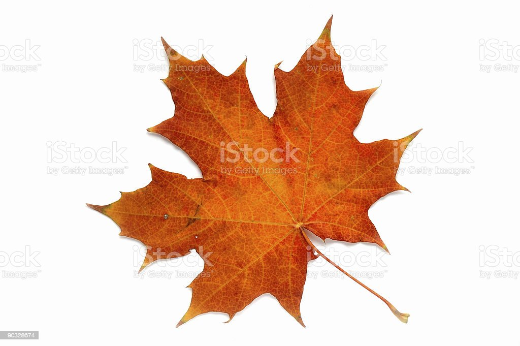 Autumn gold leaf on a white background. stock photo
