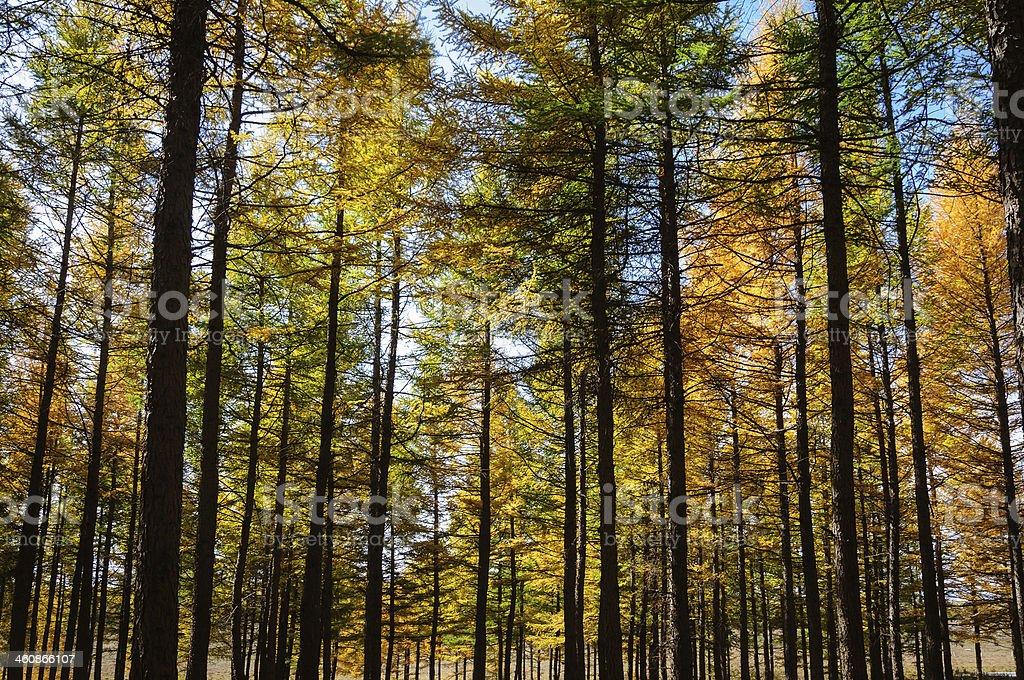 autumn gold trees royalty-free stock photo