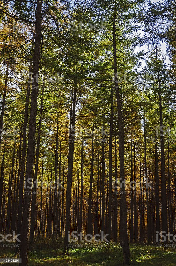 Autumn gold trees royalty-free stock photo