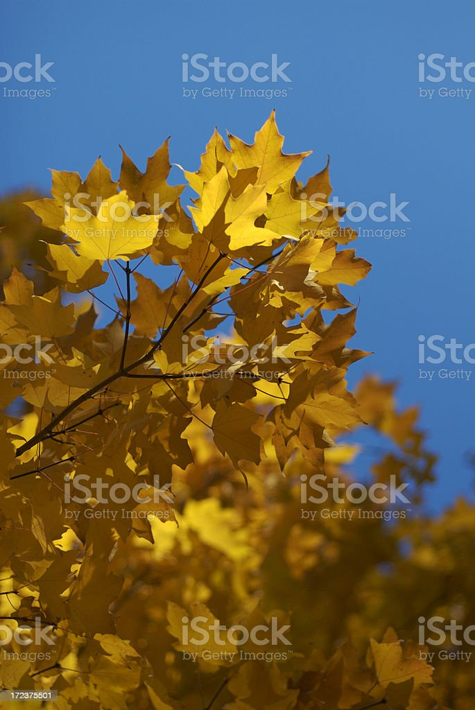 Autumn Gold Yellow Maple Leaves Blue Sky royalty-free stock photo