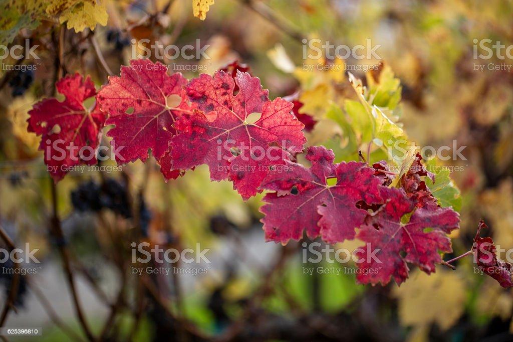 Autumn Grape Leaves at Napa, California stock photo