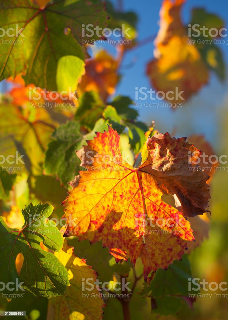 Autumn Grape Leaves stock photo