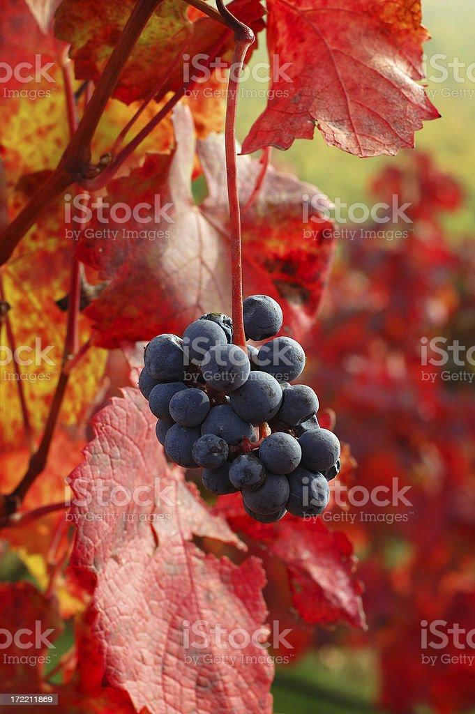 Autumn grapes - 1 royalty-free stock photo