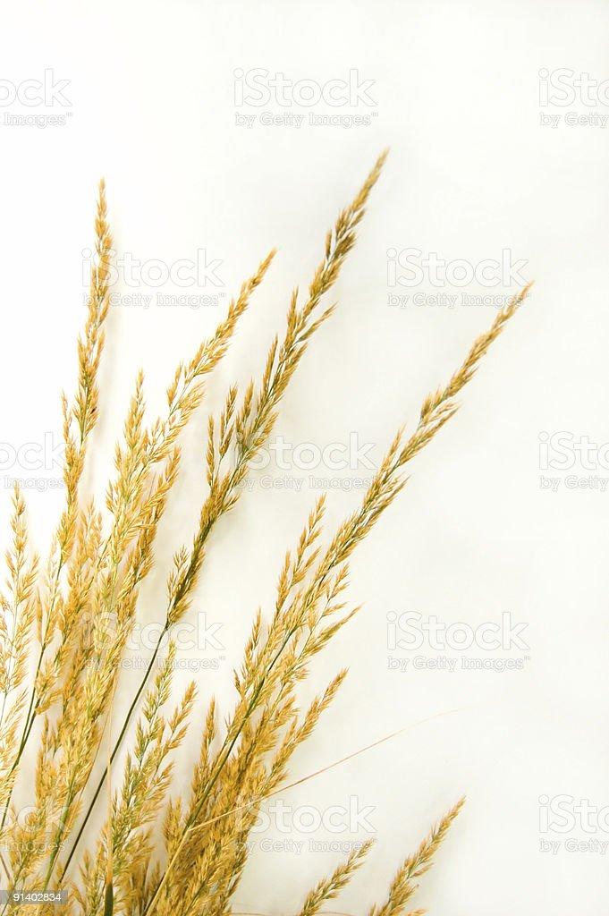 Autumn Grass on White royalty-free stock photo