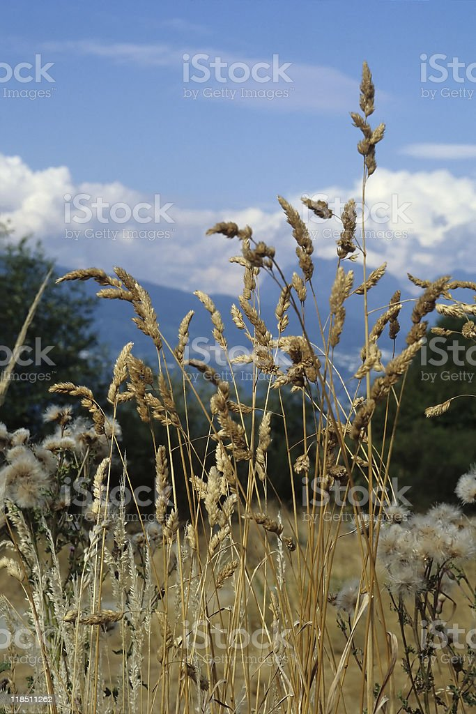 Autumn grasses and North Vancouver mountains stock photo