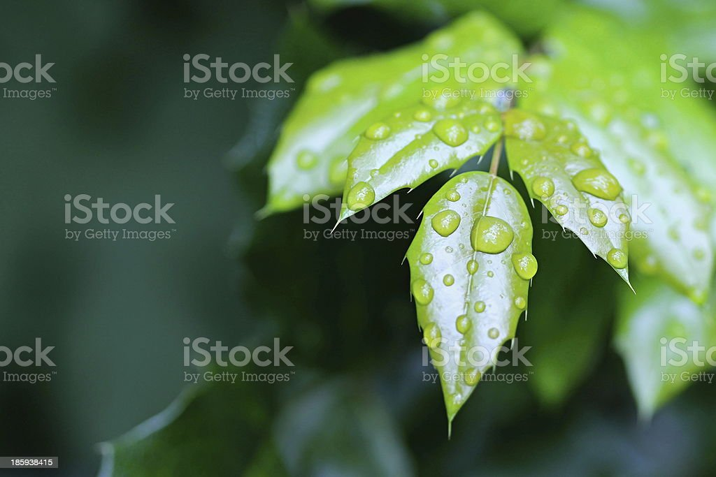 Autumn Green Leafs with Water Drops in the Wood royalty-free stock photo