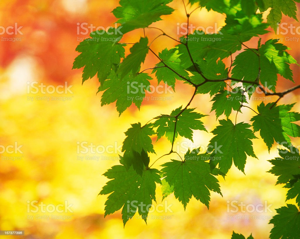 Autumn Green Leaves royalty-free stock photo