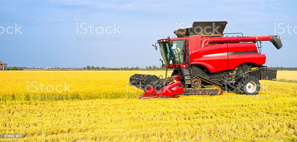 Autumn harvest of ripe rice. Color Image stock photo
