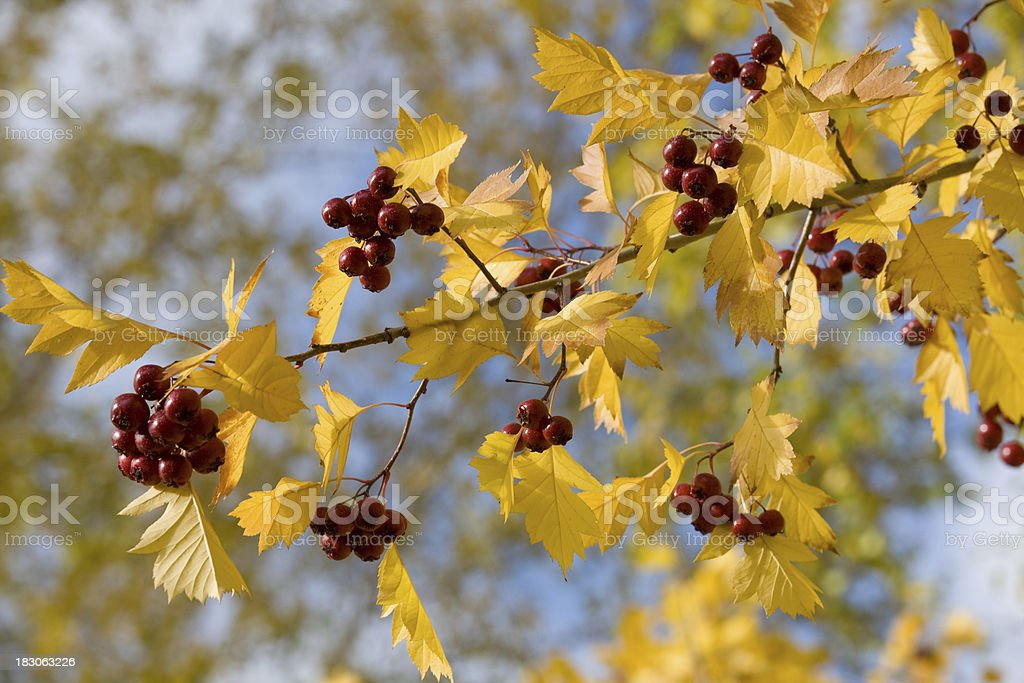 Autumn hawthorn royalty-free stock photo