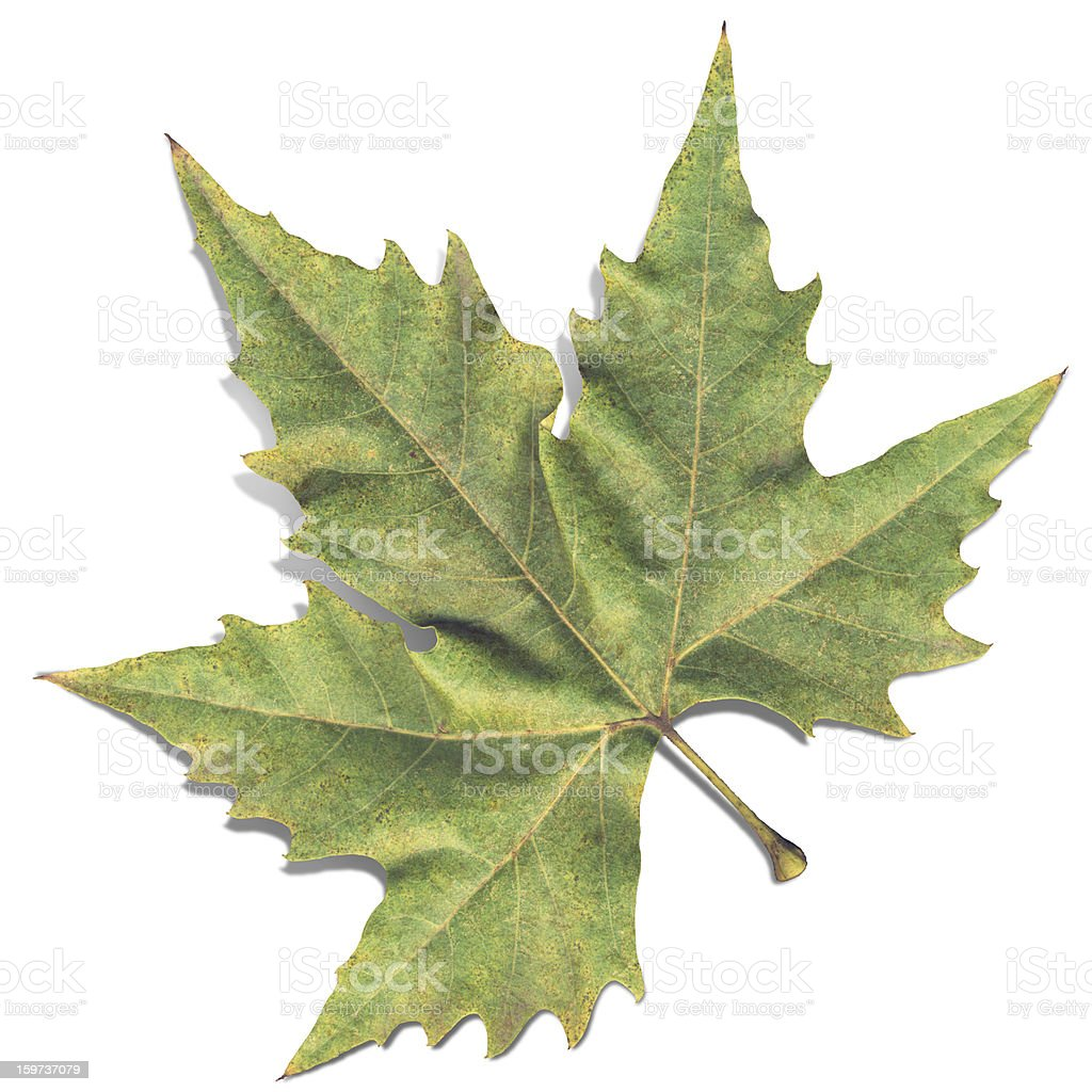 Autumn High Resolution Isolated Dry Maple Leaf royalty-free stock photo