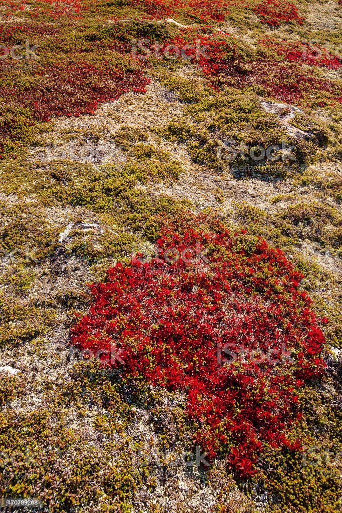 autumn highland plants background in Norway Gamle Strynefjellsve stock photo