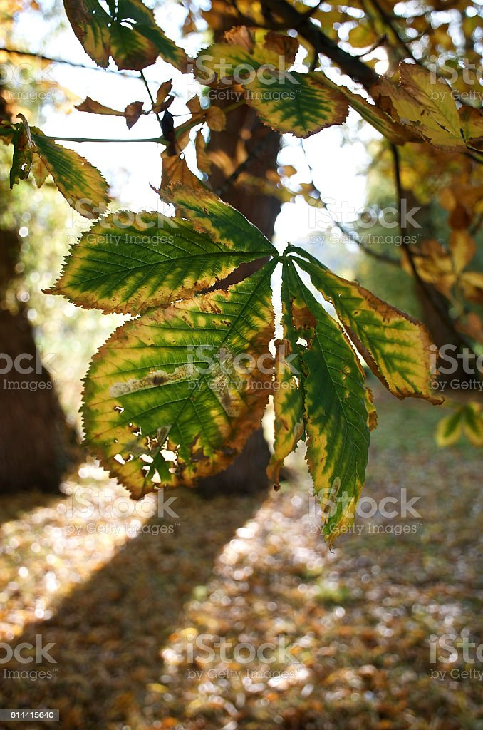 Autumn Horse Chestnut leaf in front of brown Autumn leaves stock photo