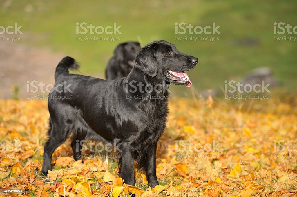 Autumn hunting with dogs royalty-free stock photo
