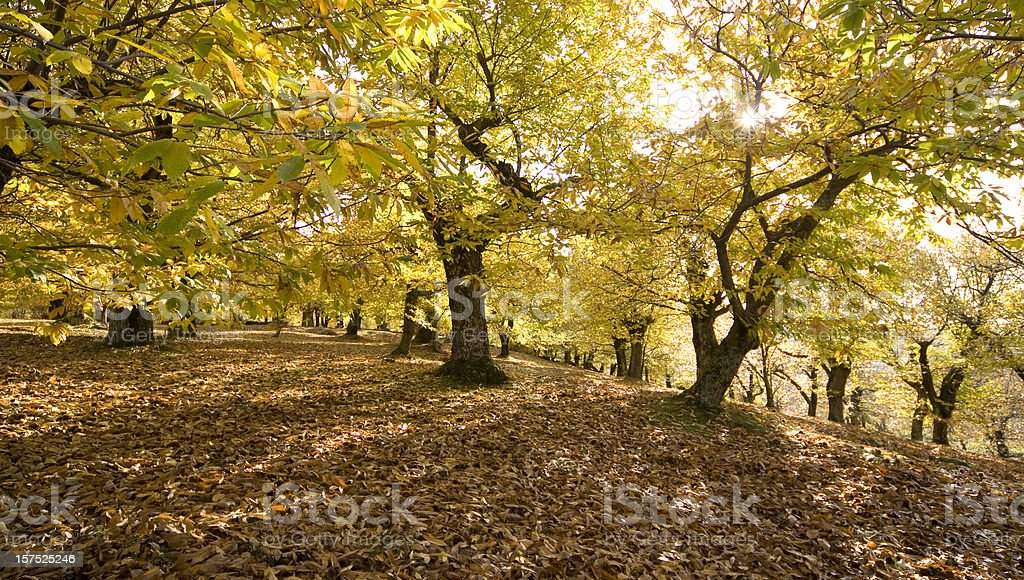 Autumn in Mount Amiata, Tuscany: Chestnut Trees with Falling Leaves royalty-free stock photo