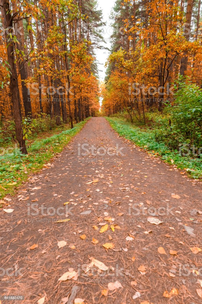 Autumn in pine and birch forest stock photo