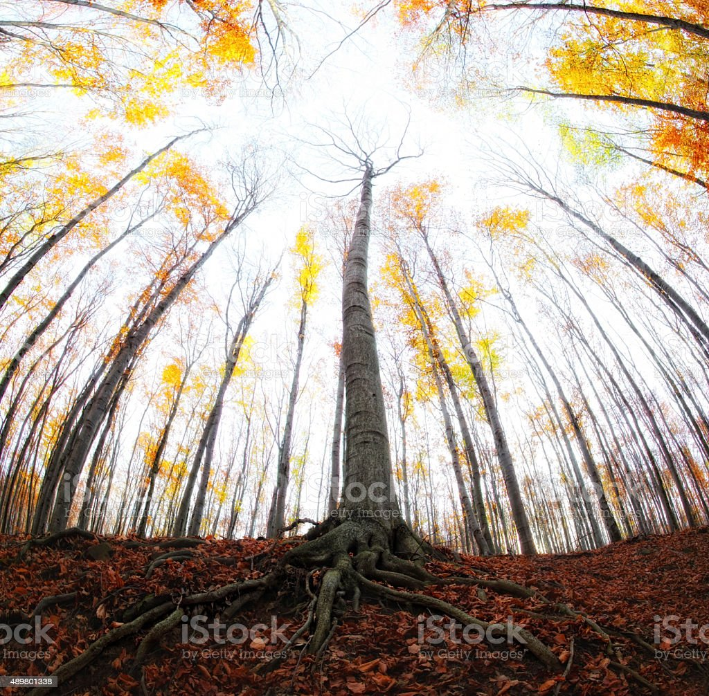 Autumn in the beech forest stock photo