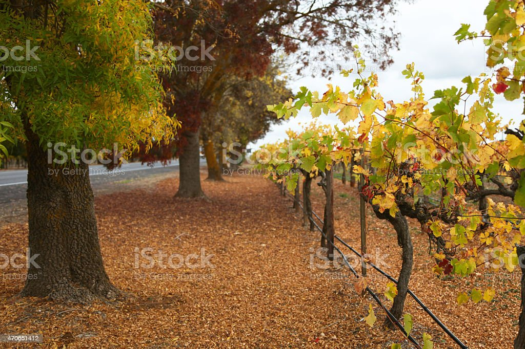 Autumn in the Coonawarra stock photo